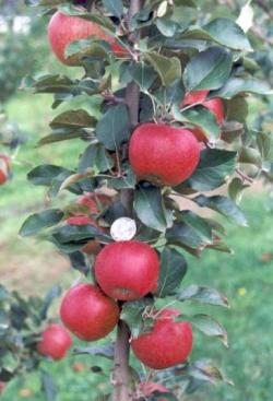 "Scab Resistant Selection RS103-130. Image from ""Organic Production of a New Australian-bred Scab Resistant Apple in Queensland, Australia"" by Middleton, et. al"
