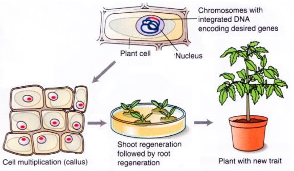 Growing plants up from cells. By Mirkov via Michigan State University.
