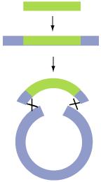 Homologous recombination from Duke University.