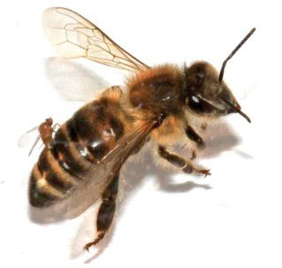 fly laying eggs inside a honey bee