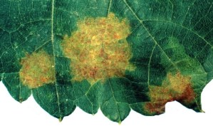 Grape downy mildew symptoms. Later leaves fall off.  Fruit can be affected too.