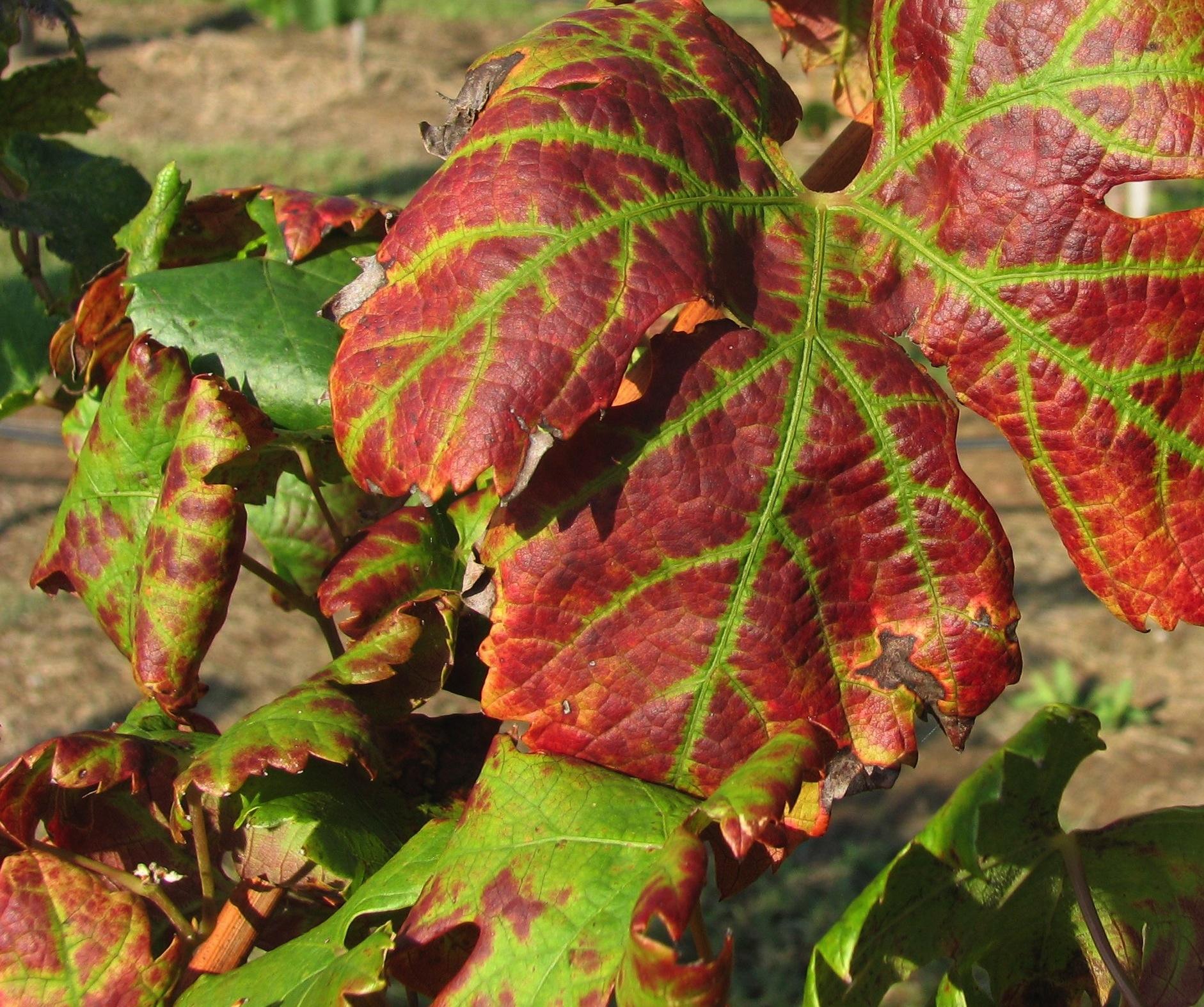 Leafroll virus symptoms
