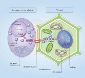 Graphic about how agrobacterium works, not that we understand