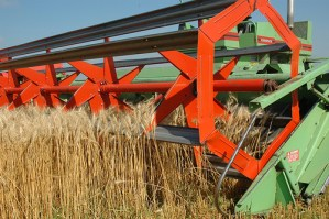 Wheat being harvested. Image by NDSU Ag Comm.