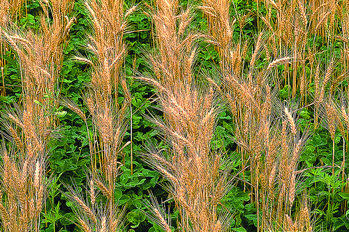 The cover crop, red clover, grows in winter wheat. Photo by Steve Deming; MSU W.K. Kellogg Biological Station via Flickr.
