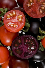Non-GE and GE tomatoes engineered for anthocyanins. Image from John Innes Centre.