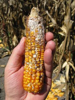 Maize ear showing cottony growth caused by Fusarium ear rot (Gibberella fujikuroi, anam. Fusarium moniliforme). The fungus produces the mycotoxin fumonisin. Photo by Thomas Lumpkin of CIMMYT via Flickr.