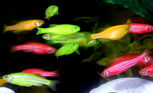 Glow fish tropical fish forums for Glow fish tanks