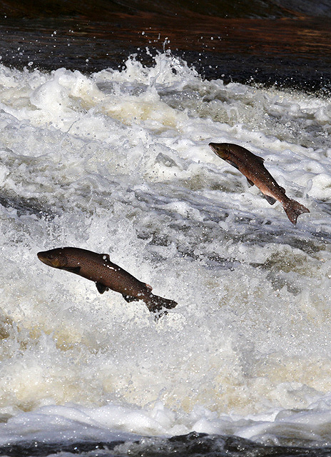 Jumping salmon by Walter Baxter.